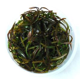 Hygrophila 'Araguaia' - Wasserfreund