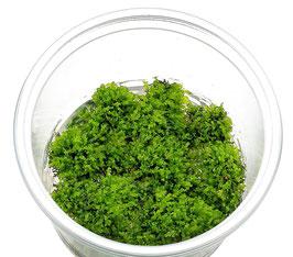 Riccardia chamaedryfolia - Korallen-Moos