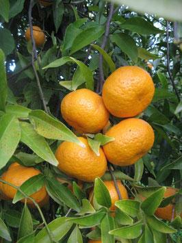 Mandarino Avana