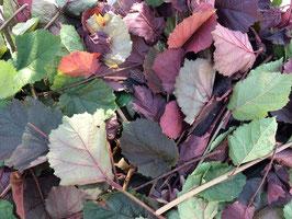 Haselnusszweige mit Blättern (getrocknet) 100g