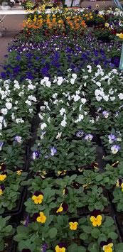 Pensée Petites Fleurs - Viola Cornuta - Godet de 8 x 8 cm - La barquette de 10