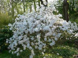 Magnolia stellata - Magnolia étoilé