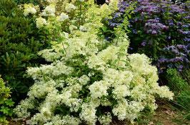 "Hydrangea paniculata ""dentelle de Gorron"""