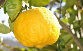 Citronnier Yuzu