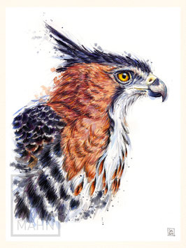 PRACHTHAUBENADLER | ornate hawk-eagle | 30x40
