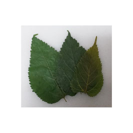 Maulbeerblätter (Mulberry Leaves)