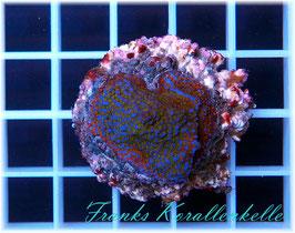 Montipora rainbow  SPS-6