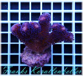 Stylophora pistillata-blau  SPS-37