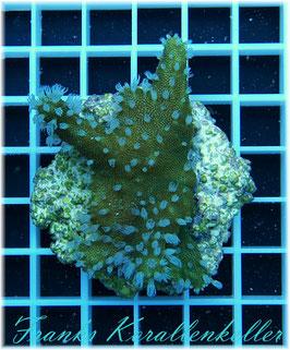Lobophytum compactum  W8