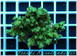 Sinularia gruen palau  W7