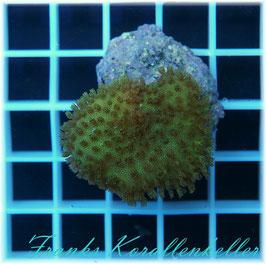 Sarcophyton elegans Fidschi W2