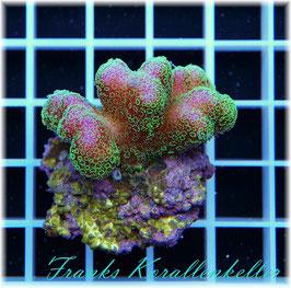 Stylophora pistillata pink-grün   SPS-26