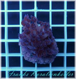 Goniopora lila LPS-63
