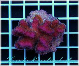 Stylophora pistillata    SPS-15