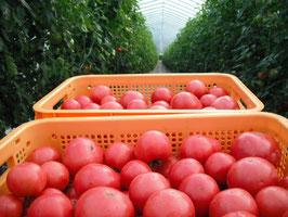 【無農薬・無化学肥料】完熟朝採り桃太郎トマト 4kg