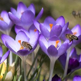 Wildkrokusse Violettblau