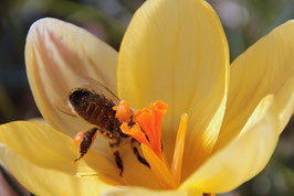 Wildkrokus Bienenmagnet