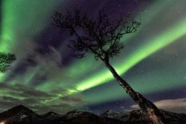 Der Baum und das Nordlicht