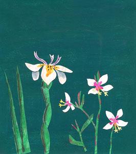 »Weisse Blüten« - FRAUKNOPP