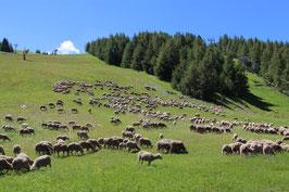 A la rencontre des moutons en alpages