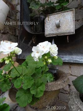 WHITE BUTTERFLY -verfügbar