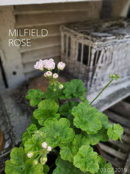 MILDFIELD ROSE