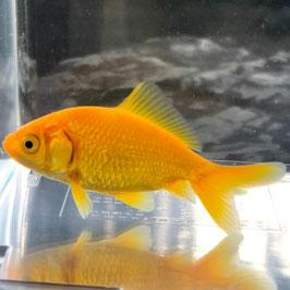 (金魚)国産 キラキラ黄金魚[きんぎょ] 三つ尾 木村養魚場産(1匹) 【生体】