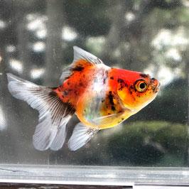 (金魚)国産 東錦 ベールテール 薩摩産 (1匹)【生体】