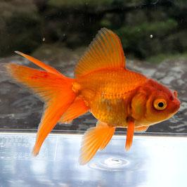 (金魚)国産 茶金 弥富産(1匹)【生体】