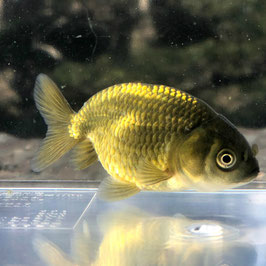 (金魚)黒らんちゅう 4~5cm± (1匹)【生体】