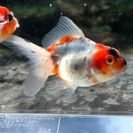 (金魚)国産 東錦 志村養魚場産(1匹)【生体】