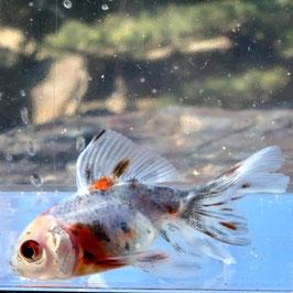 (金魚)東錦 (1匹)【生体】