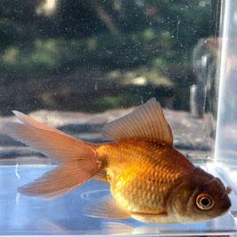 (金魚)茶金 (1匹)【生体】