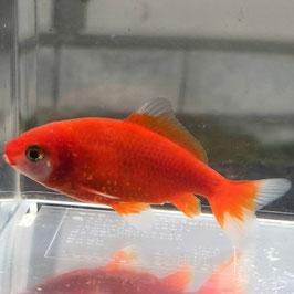 (金魚)国産 紅葉和金 三つ尾/四つ尾 江戸川産 (1匹)【生体】