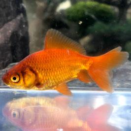 (金魚)国産 茶和金(1匹)【生体】