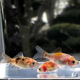 (金魚)国産 キャリコ和金(フナ尾) 宮城産(1匹)【生体】