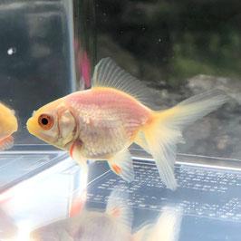 (金魚)国産 白琉金 少緋入り 江戸川産 (1匹)【生体】