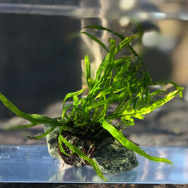 (水草)国産 ミクロソリウム トライデント 石付 (1個)【生体】