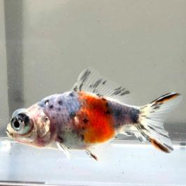 (金魚)キャリコ出目金  (1匹)【生体】