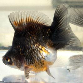 (金魚)だるま琉金 トリカラー(1匹)【生体】