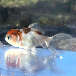 (金魚)孔雀オランダ (1匹)【生体】