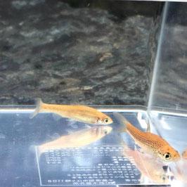 (淡水魚)黄変モツゴ(1匹)【生体】