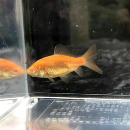 (金魚)国産 アルビノ和金(フナ尾) 宮城産(1匹)【生体】