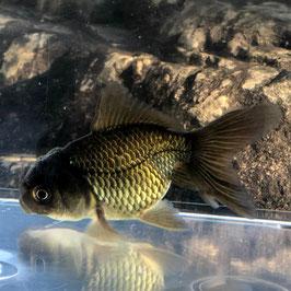 (金魚)黒オランダ (1匹)【生体】