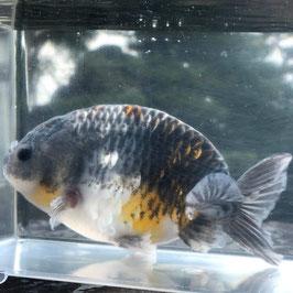 (金魚)トリカラーらんちゅう (1匹)(現品) 【生体】
