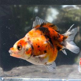 (金魚)国産 だるま琉金 薩摩産 色系統:赤白黒 (1匹)【生体】