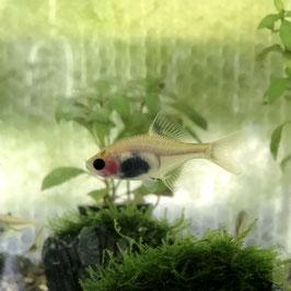 (淡水魚)透明鱗イエロータイリクバラタナゴ(1匹)【生体】