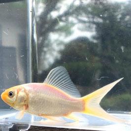 (金魚)国産 白コメット (少緋入りも含む) 江戸川産(1匹)【生体】