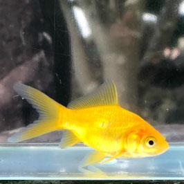 (金魚)国産 レモンコメット 薩摩産 (短尾含む)(1匹)【生体】