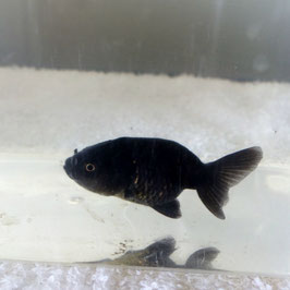 (金魚)黒らんちゅう 真っ黒 良物(1匹)【生体】